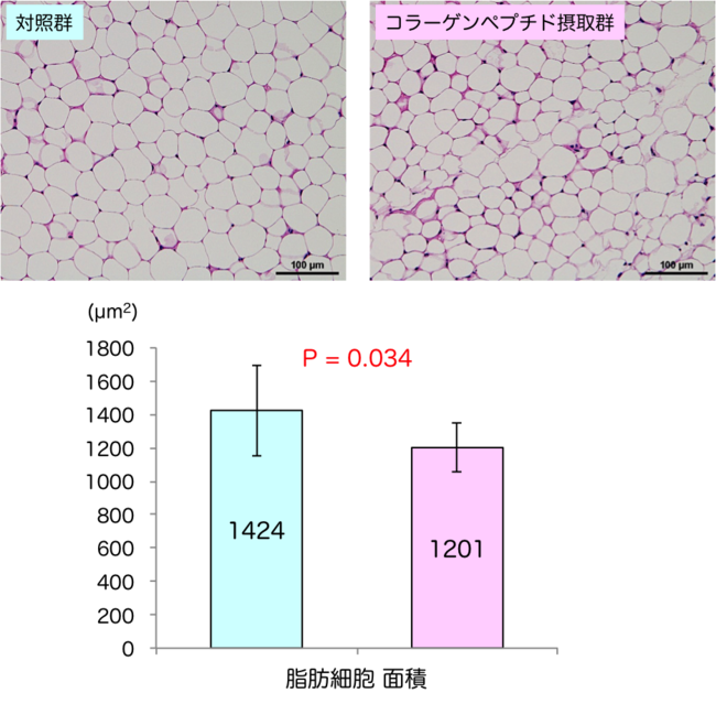 図2:コラーゲンペプチド摂取による脂肪細胞サイズの縮小