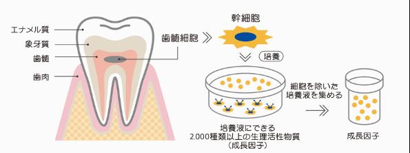図2:ヒト乳歯由来歯髄幹細胞培養上清液の精製方法イメージ図