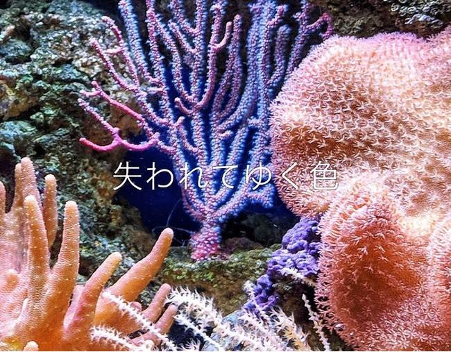 年々失われている珊瑚礁による美しい海の色