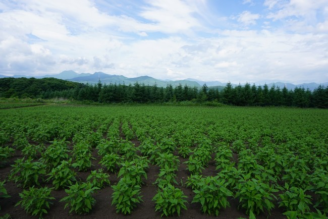 ワタミファームでのきく芋の栽培