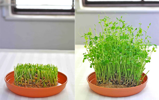 (図3)豆苗の再生栽培