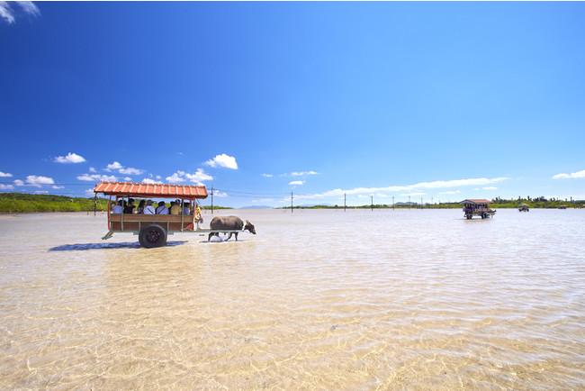 西表島から水牛車で遠浅の海を渡り由布島へ