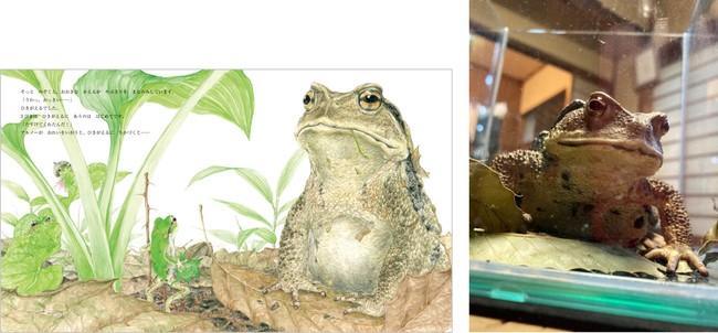 あまがえるたちに比べてあまりにも大きなヒキガエル。右は観察のため一時飼育したアズマヒキガエル