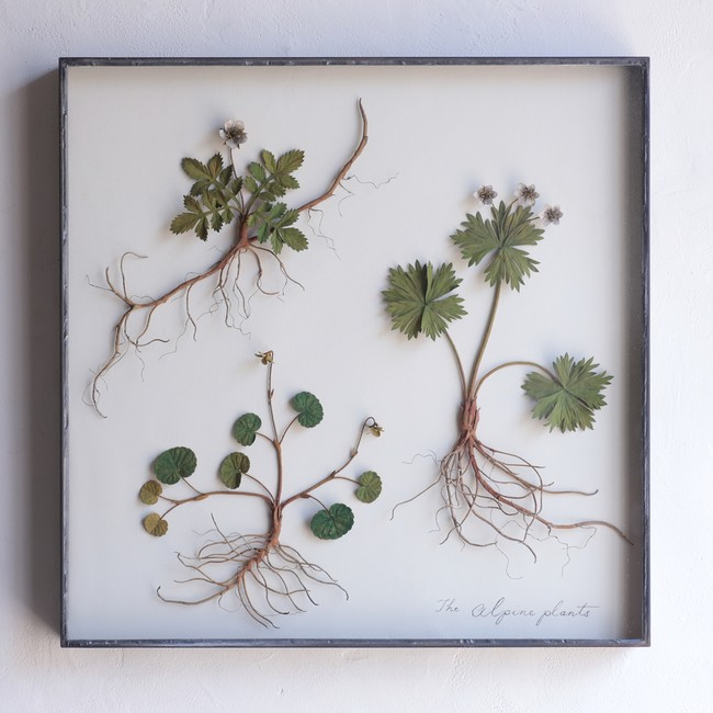 高山植物3種