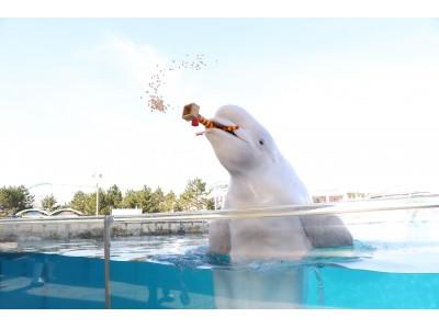 【横浜・八景島シーパラダイス】水族館ならではの豆まきで福を呼び込もう!シロイルカの豆まき【2020年1月24日(金)~2月9日(日)】