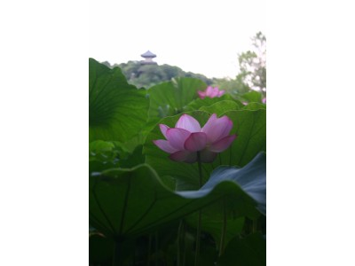 三溪園の夏 清涼の庭に憩う。