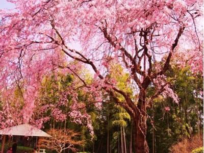 今年のお花見は松戸に行こう!『さくらの街』松戸のお花見スポット&桜まつりを一挙紹介