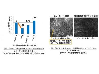 コラーゲン線維形成を最も促進するコラーゲン受容体「DDR2」を発見