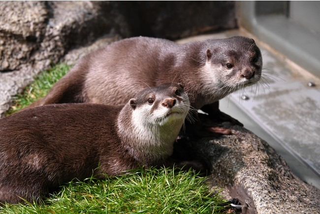<延期開催のお知らせ>サンシャイン水族館 「みんなで考えよう!世界ペンギン・カワウソの日」 *世界カワウソの日編*