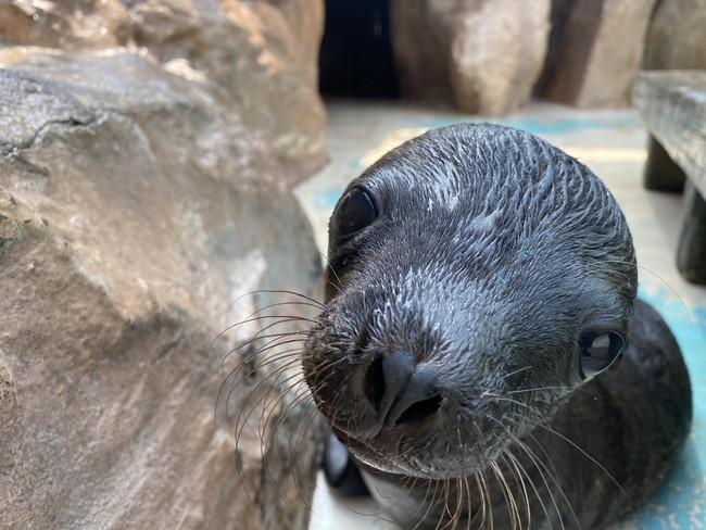 サンシャイン水族館では初!カリフォルニアアシカの赤ちゃん誕生!
