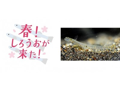 【京都水族館】春の風物詩「しろうお」を期間限定展示 特別企画イベント「春!しろうおが来た!」を開催