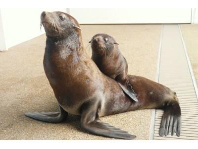 【京都水族館】応募総数4119件から「ミナミアメリカオットセイ」の赤ちゃんの名前を『ぎおん』に決定