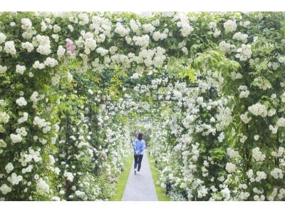 朝から夜まで一日中バラの香りに包まれる初夏のハウステンボスは日本一のバラの街へ様変わりアジア最大級2000品種130万本の「バラ祭」