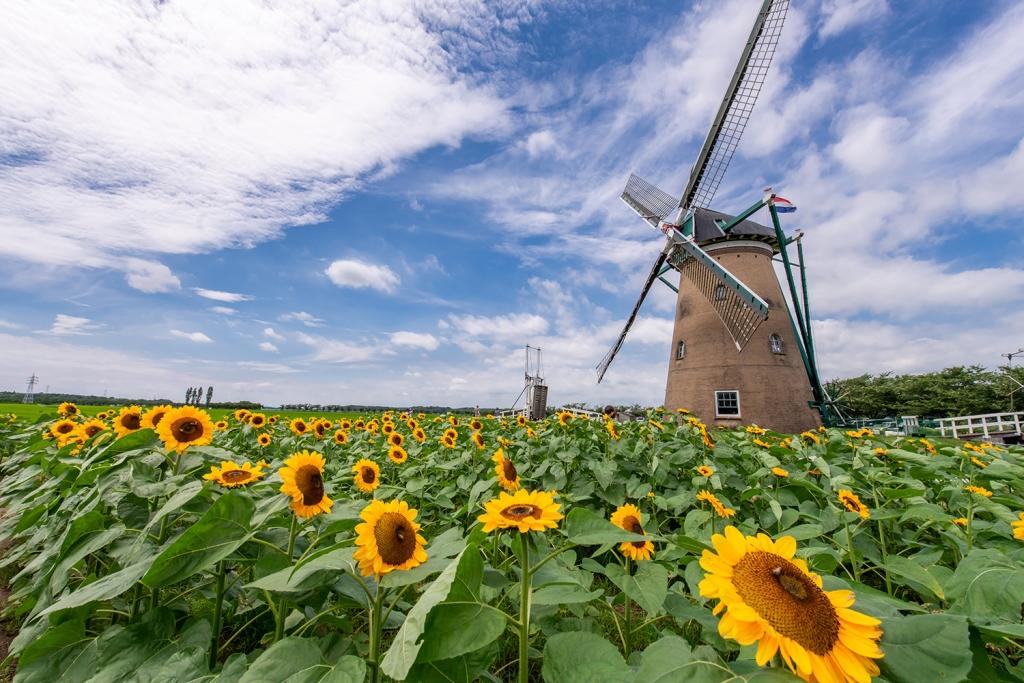 2年ぶりにゴッホに会える夏。「風車のひまわりガーデン」を開催します(7/10~8/1、千葉県佐倉市)