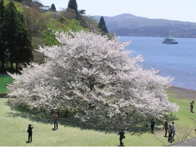【箱根園】樹齢約100年、芦ノ湖のほとりに雄大に咲く桜