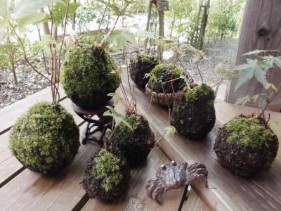 涼を呼ぶ、緑鮮やかな「苔玉」作り体験会開催!