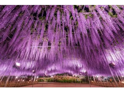 350本以上の藤の花と、5000株以上のツツジが咲き乱れる『ふじのはな物語~大藤まつり2019~』が2019年4月13日(土)より開催!