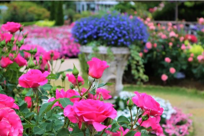 花のステージは、ふじのはな物語からローズガーデンへ 『500種2500株の華やかなバラが、見頃を迎えました!』