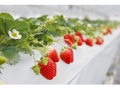 山田みつばち農園にて2020年1月5日(日)よりイチゴ狩り開始!