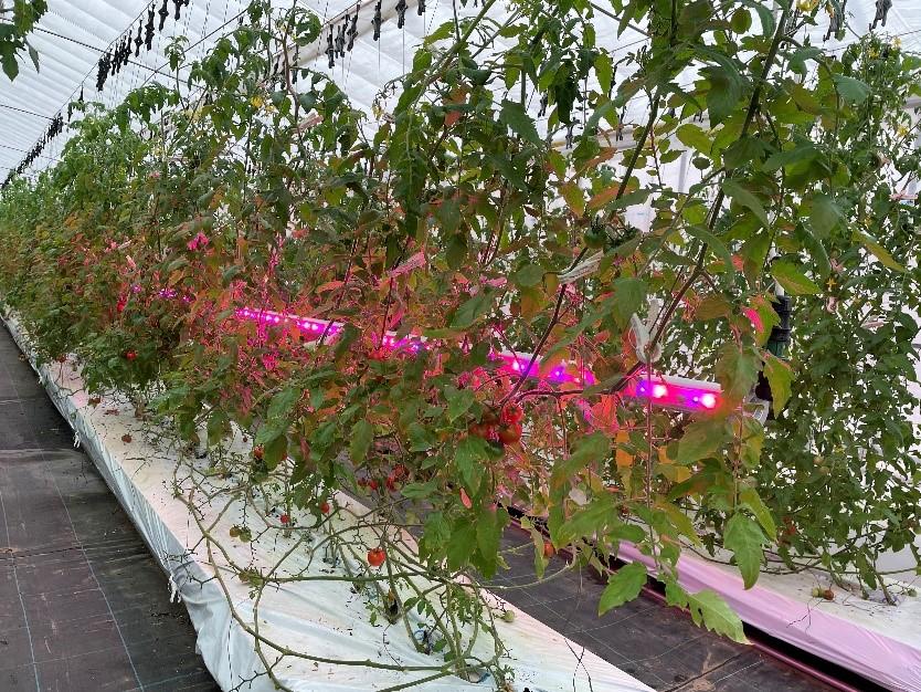 【株式会社ベジ・アビオ】新潟県内トマト栽培におけるLED補光の実証実験を開始 画像