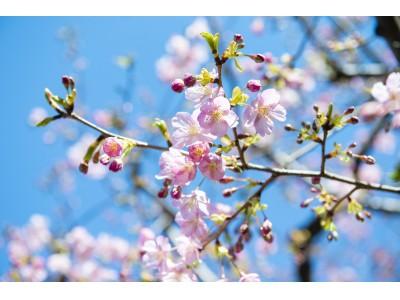 イクスピアリ(R)の『河津桜』が咲きはじめました ~桜グッズ&メニューも登場~