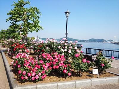 【入園無料】9月下旬から咲き始め、10月には横須賀港の眺めと約1,700株のバラ園が見頃に(横須賀市ヴェルニー公園)