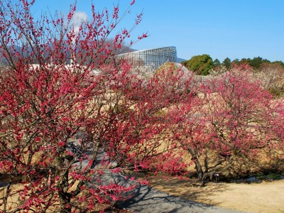 いよいよ今週末まで!満開の梅が咲き乱れる様子を360度パノラマ写真でご紹介「梅まつり」3月10日(日)まで開催中(小田原フラワーガーデン)