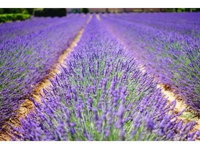プロヴァンスの風だより「6月~リュベロンのラベンダー畑から~」5月29日(金)より6月末まで期間限定販売。