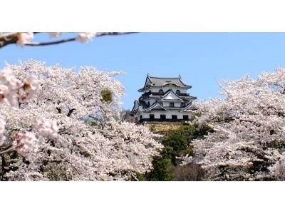 咲き誇る8品種1,100本余の桜。いよいよ『彦根城桜まつり』が3月30日(土)より開催。好評のライトアップも実施!!
