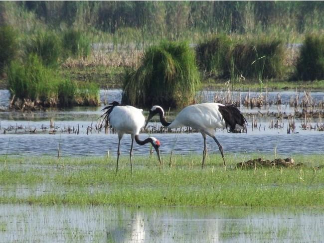 勇払原野の安平川(あびらがわ)下流域に整備予定 河道内(かどうない)調整地(遊水地)で、今年も7種の希少鳥類を確認