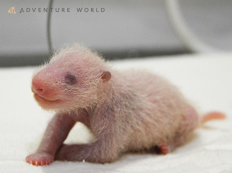 11月29日(日)ジャイアントパンダの赤ちゃん  NEWS~生後1週間を迎えました!~