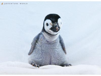 こころにスマイル 未来創造パーク 10月1日に誕生したエンペラーペンギンの赤ちゃん自然育雛に向けて親鳥の...