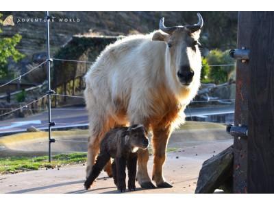 2019年3月14日(木)、3月16日(土)中国三大珍獣 ゴールデンターキンの赤ちゃんが2頭誕生しました!