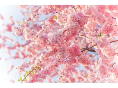 """開花が待ち遠しい!バレンタインデーも新生活も """"桜"""" に願いを込めて""""胸をキュン"""" な 桜にまつわる恋のジンクスとは?"""