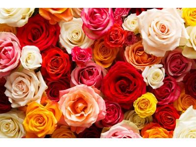 アフリカのバラ専門店、AFRIKA ROSE & FLOWERS 4月11日(木)六本木ヒルズにグランドオープン!