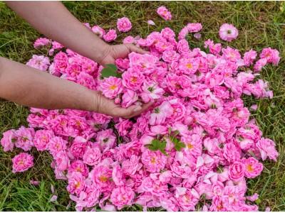 秋バラをたのしむ!京成バラ園「オータムフェア2019」にブルガリア ローズ ジャパンがブース出展&「バラ美容セミナー」を開催!
