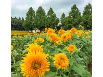 茨城・こもれび森のイバライドで 遅咲きのひまわりが9月上旬に見頃予定! 約1,500本のひまわりが花畑でサンサンと輝く!