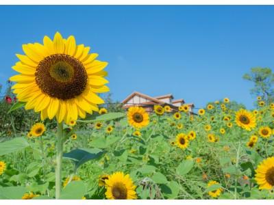 この夏はハーベストの丘でひまわりを満喫!ひまわりフェスタ開催!(堺・緑のミュージアム ハーベストの丘)