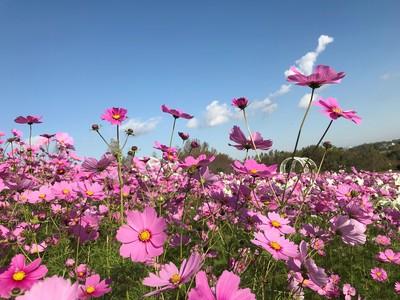 秋風に揺れるコスモス100万本の丘(堺・緑のミュージアム ハーベストの丘)
