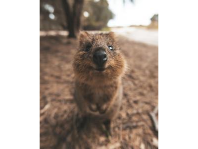 """【アフターコロナの旅の予習 西オーストラリア州最新情報!】世界一しあわせな動物""""クオッカ""""のお墨付き!コンシャストラベルにぴったりなエコアイランド「ロットネスト島」"""