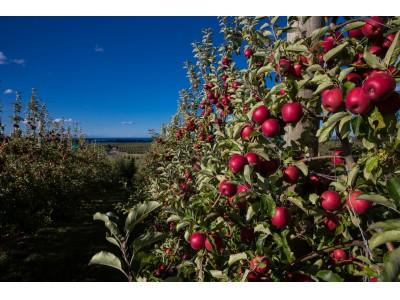 ニュージーランド産のジャズりんごの季節が今年も到來!2020年5月5日(金)初出荷2年連続過去最高の出荷量を記録。