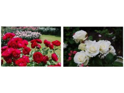 六甲山カンツリーハウス「バラの小径 ローズウオーク」 バラが見ごろを迎えました!