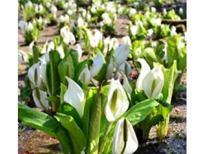 六甲高山植物園 花とお酒を楽しむ ミズバショウまつり 3月31日(土)より開催!