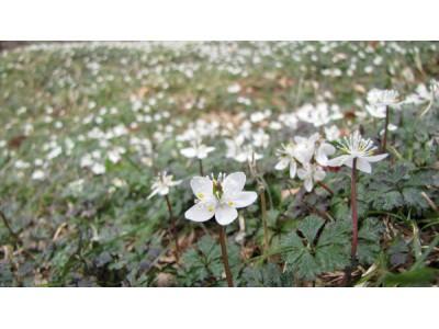 六甲高山植物園 冬季特別開園 ~春の息吹を感じる6日間~