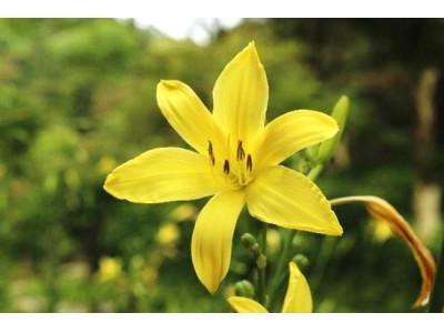 六甲高山植物園 優しい香りを放つ夜の花々 夏の夕べに咲く「ユウスゲ」が見頃です!