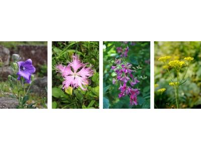 8月7日(火)は立秋 六甲高山植物園では、秋の七草が開花!