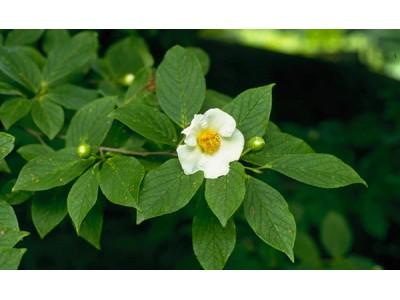 六甲高山植物園 気品高い純白の花沙羅双樹こと ナツツバキが見頃です!