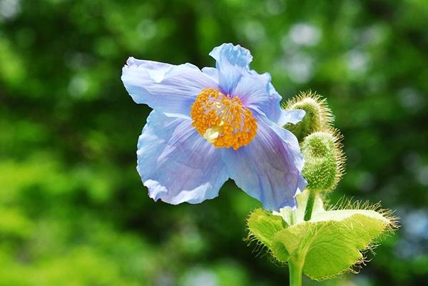 【六甲高山植物園】秘境に咲く神秘の花「ヒマラヤの青いケシ」が見頃を迎えました!