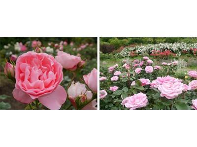 六甲山カンツリーハウス「バラの小径 ローズウオーク」 最後の満開のバラを楽しもう!