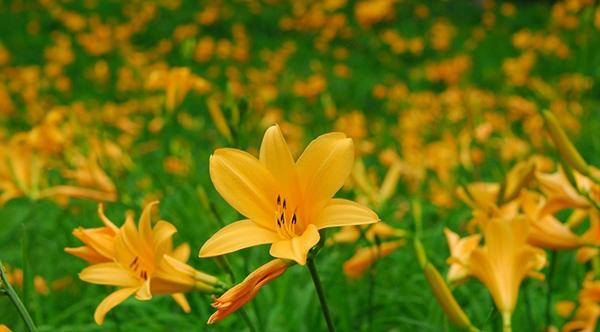 【六甲高山植物園】 一面に広がる黄色の花畑 約2,000株の「ニッコウキスゲ」が見頃です!